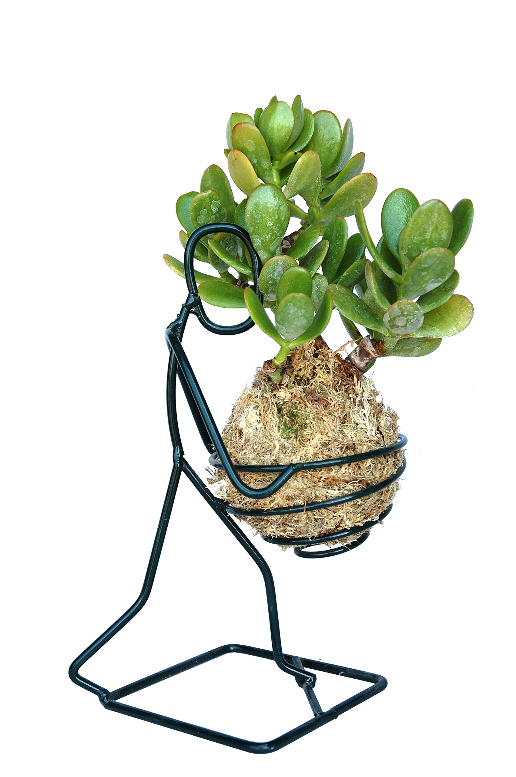 Kokedama Jade Plant and Holder Set by Topiary Art Works