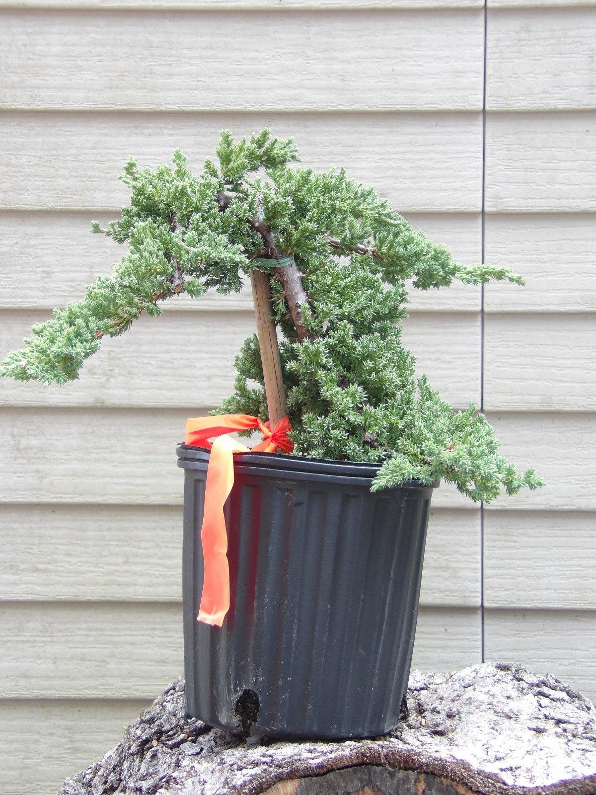 12 Bonsai Tree Plant Pre Bonsai Juniper Bonsai Tree