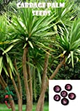 25 Cabbage Palm seeds, ( Sabal palmetto ) from Hand Picked Nursery