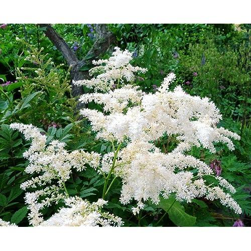 Perennial flowering plants amazon garthwaite nurseries potted 1 litre astilbe arendsii bridal veil summer flowering mightylinksfo