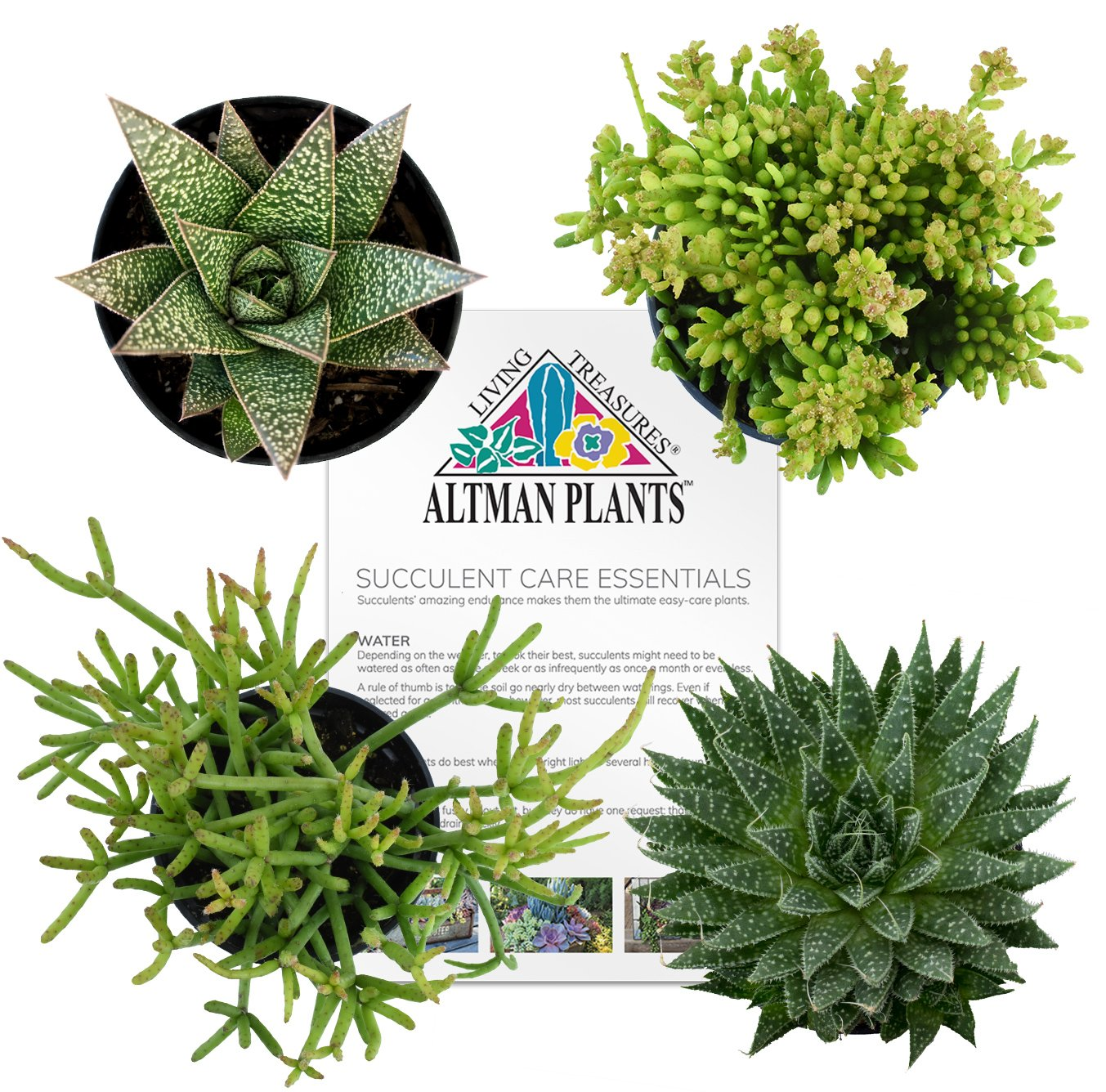 Altman Plants Succulents Desk Buddy Collection 2.5'' 4 Pack