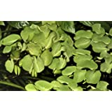 Tropica Salvinia Auriculata 1 – 2-grow flotante frogbit Tissue Culture in vitro planta para
