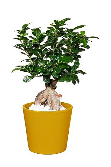 EVRGREEN | Zimmerpflanze Ficus Ginseng in Hydrokultur mit gelbem ...