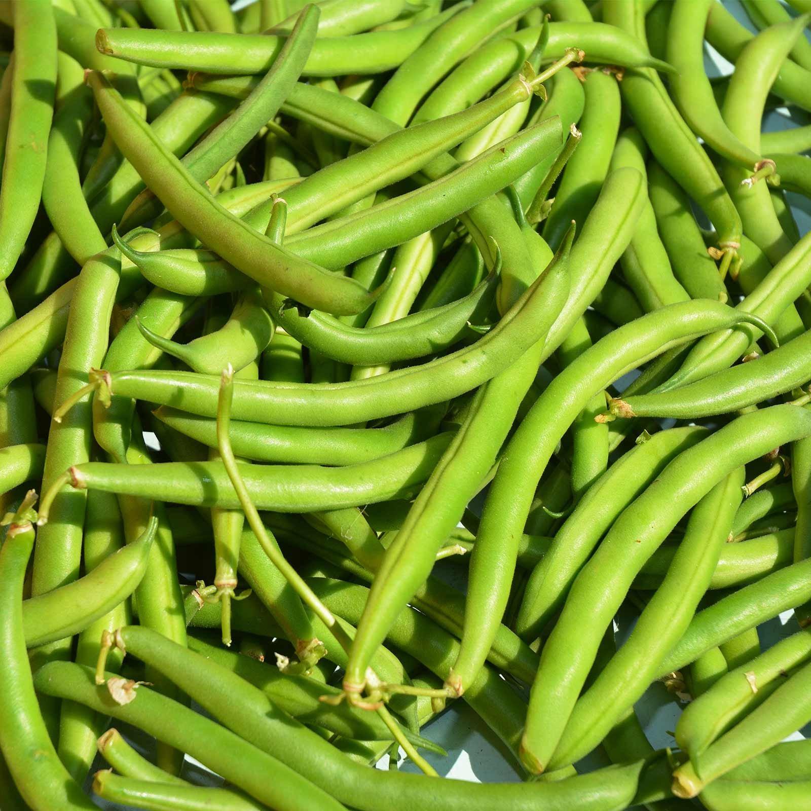 Provider Bush Bean Seeds - 25 Lb Bulk - Non-GMO, Heirloom Green Snap Bean Seeds - Vegetable Garden Seeds