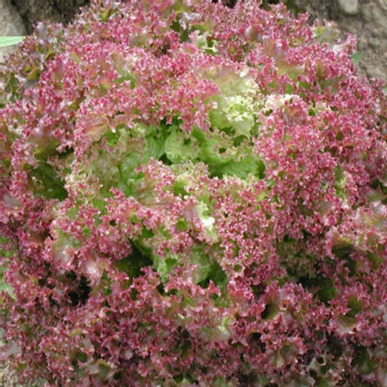 Leaf Lettuce Garden Seeds - Lollo Rosso - 1 Oz ~25,000 Seeds - Non-GMO, Heirloom Vegetable Gardening & Microgreens Seed