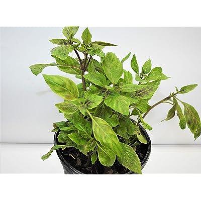 albahaca morada/Basel Full Plant with Root : Garden & Outdoor