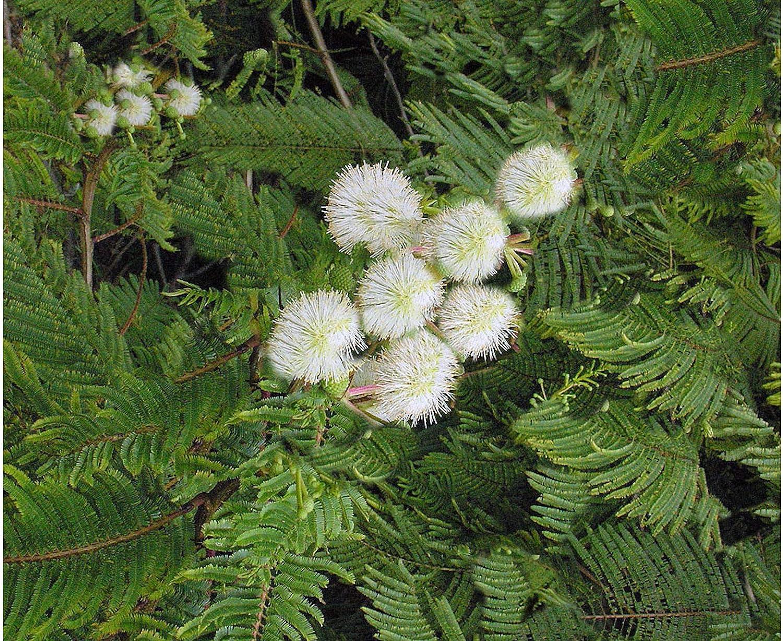 Amazon Com Acacia Angustissima 10 Seeds Prairie Acacia Drought