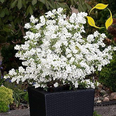 PEARLBUSH Exochorda Racemosa - 20+ Seeds : Garden & Outdoor