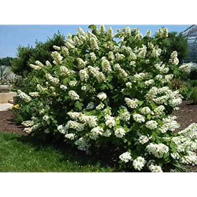 Alice Oakleaf Hydrangea - Live Plants Shipped Over 1 Foot Tall by DAS Farms (No California) : Hydrangea Plants : Garden & Outdoor