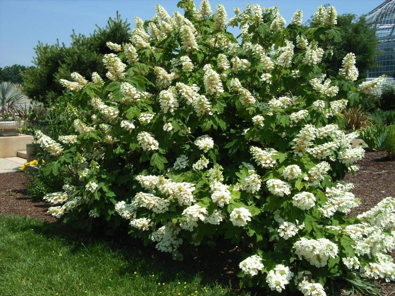 Alice Oakleaf Hydrangea - Live Plants Shipped Over 1 Foot Tall by DAS Farms (No California)