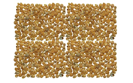 Amazon Quality Selected Seashells Approx 700 Pcs Shells