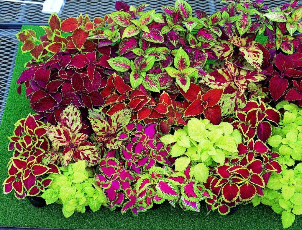 Amazon Com Seeds Rare Coleus Flowers Perennial Handing Garden
