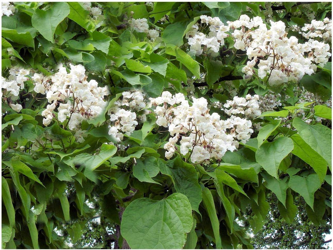 Amazon Com Catalpa Speciosa 10 Tree Seeds Northern Western