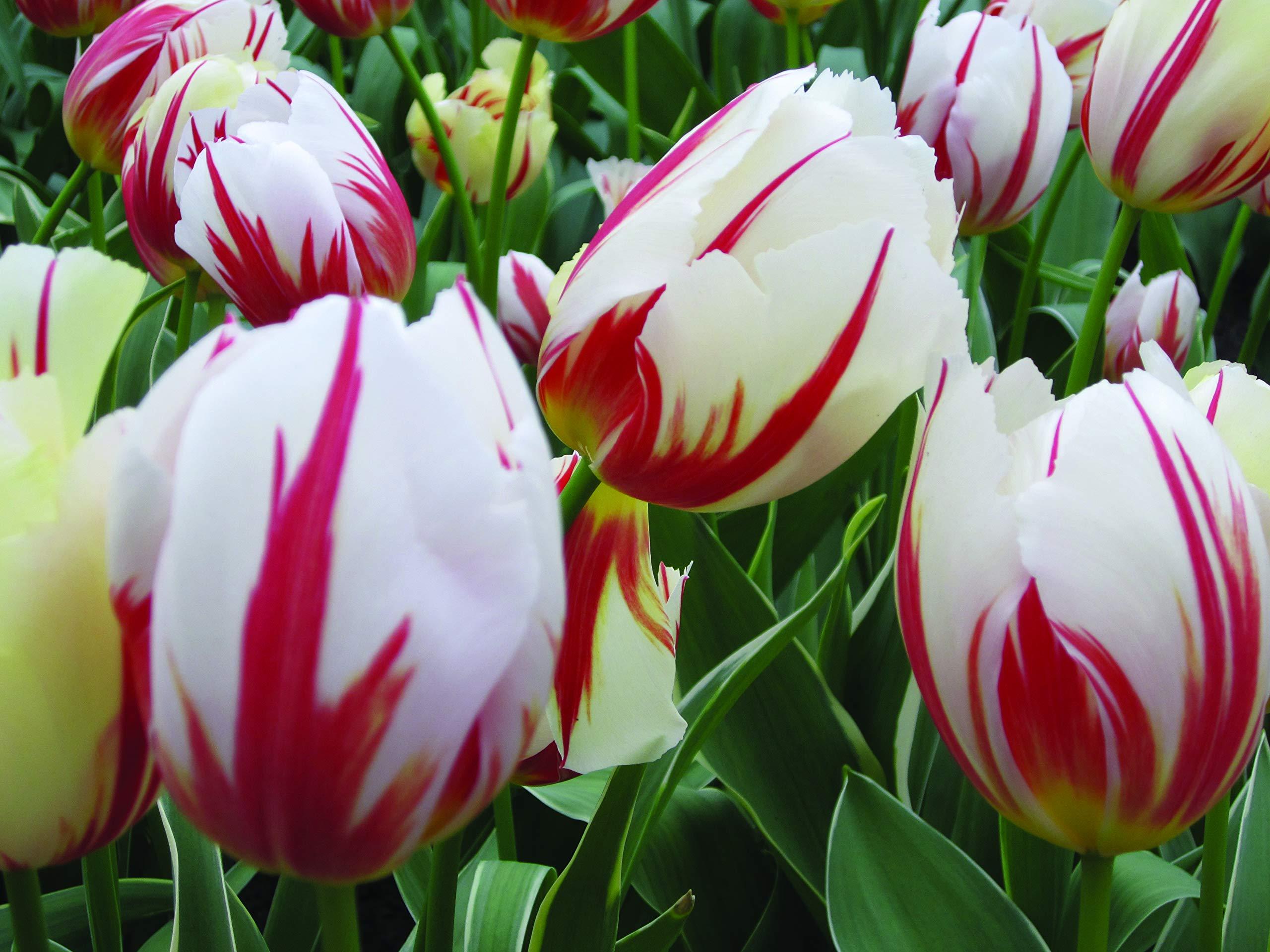 Burpee's Carnival de Rio Tulip - 10 Flower Bulbs | Red & White | 12 - 14cm Bulb Diameter by Burpee