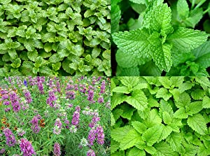 Please Read! This is A Mix!!! 100+ ORGANICALLY Grown Mint Mix 4 Varieties: Peppermint, Spearmint, Lemon Mint & Lemon Balm Melissa Seeds Heirloom Non-GMO. The Seeds are Mixed!!!