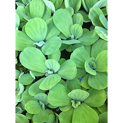 12 Water Lettuce Organic 2 to 3 inches Pond Plants Grow to be 8 in : Garden & Outdoor