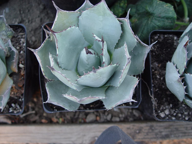 Amazon.com : Agave Parryi Var. Truncata, Syn. Parry\'s Century Plant ...