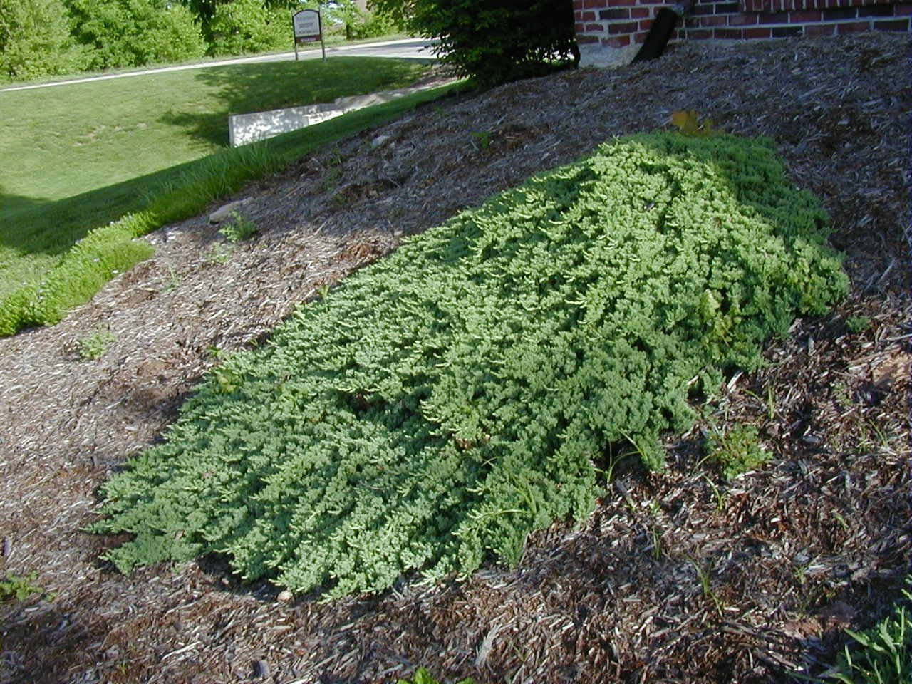 Juniper Procumbens Nana Qty 60 Live Plants Groundcover by Florida Foliage (Image #4)