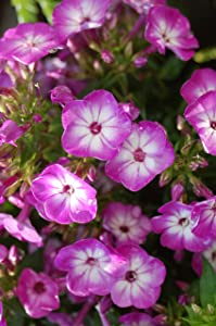 Volcano Phlox - Phlox Volcano Purple w/ White Eye (Garden Phlox) Perennial, purple flowers with white eye, 1 - Size Container