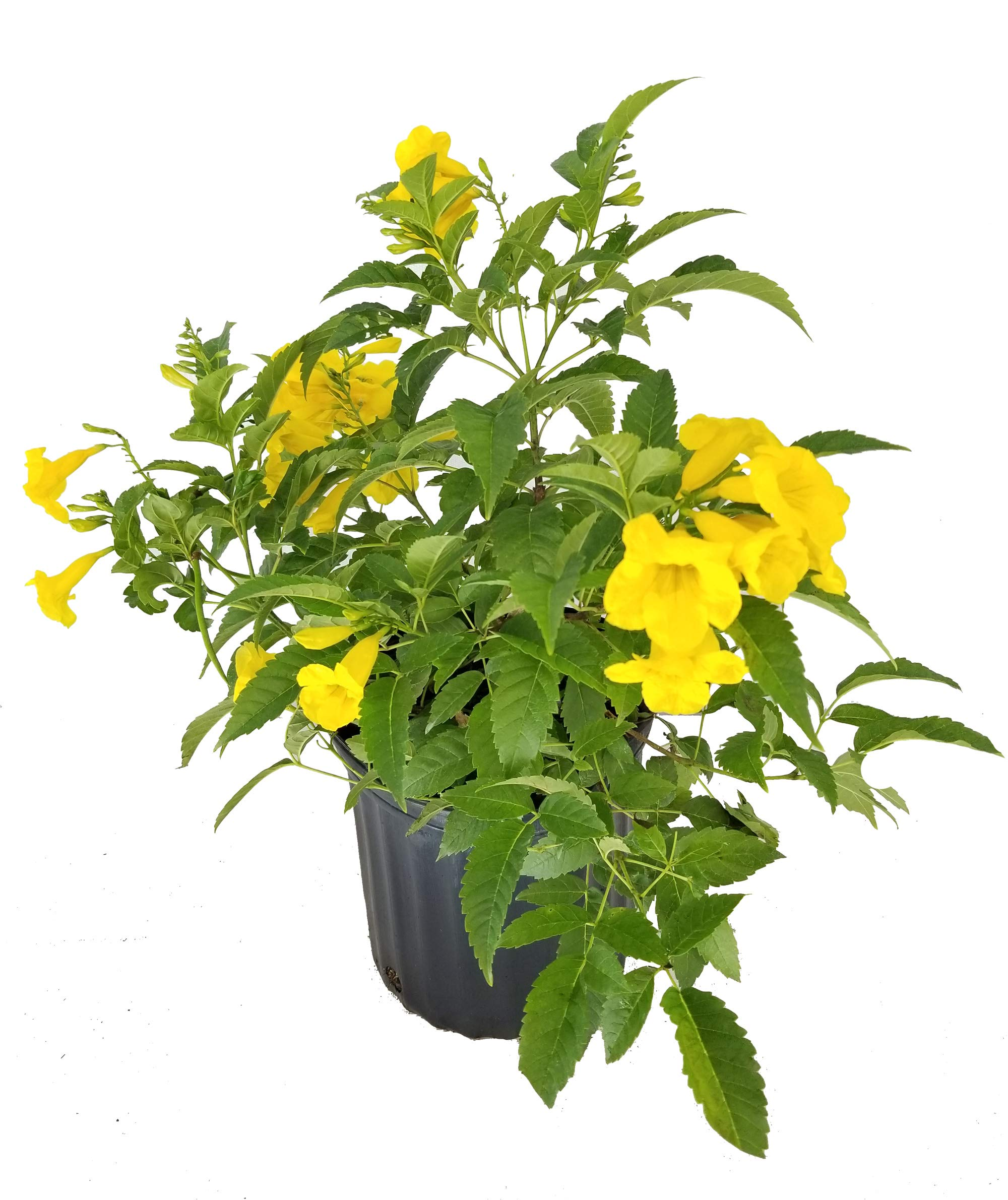 PlantVine Tecoma stans, Yellow Elder, Esperanza, Trumpetflower, Bells of Fire - Large, Bush - 8-10 Inch Pot (3 Gallon), Live Plant
