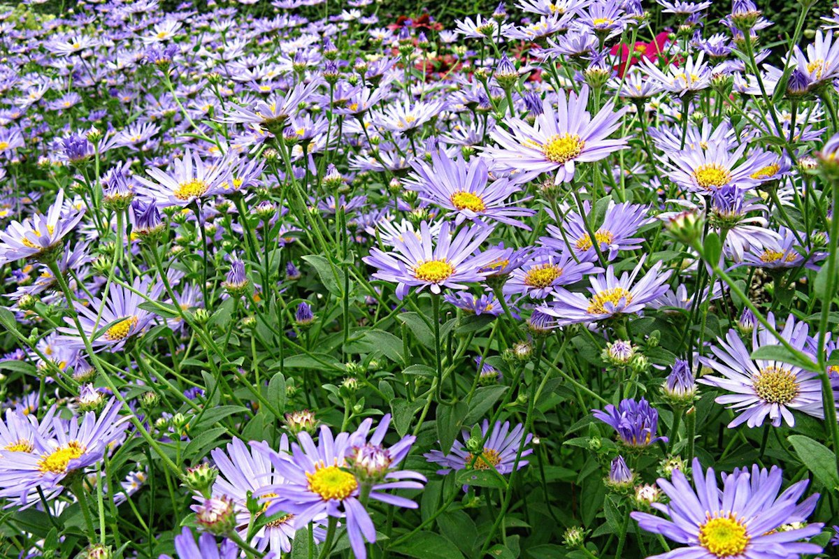garden tested hardy perennial plant supplied in a half litre pot Aster x frikartii M/önch