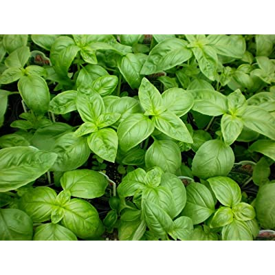 1/2 oz Sweet Basil Seeds, Genovese, Bulk Herb Seed, Heirloom Non-GMO, About 8000 : Garden & Outdoor