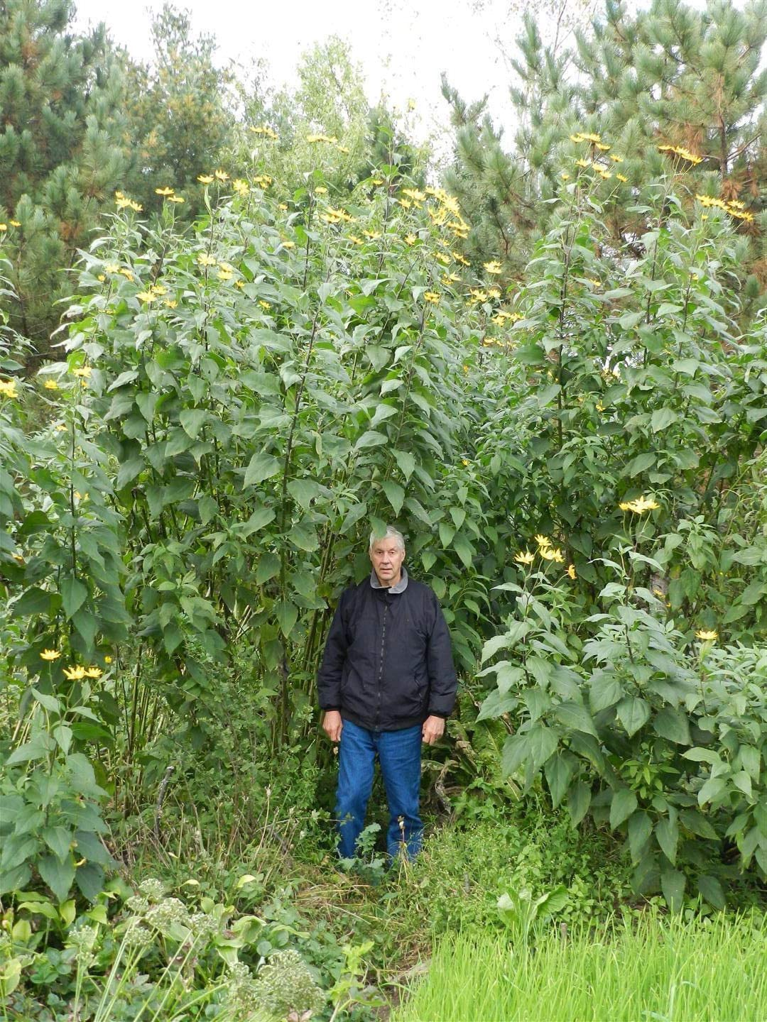 Grown Without Chemicals in Natural Rich soils PLAT FIRM Germination Seeds Jerusalem Artichoke 1 Pound Sunchokes