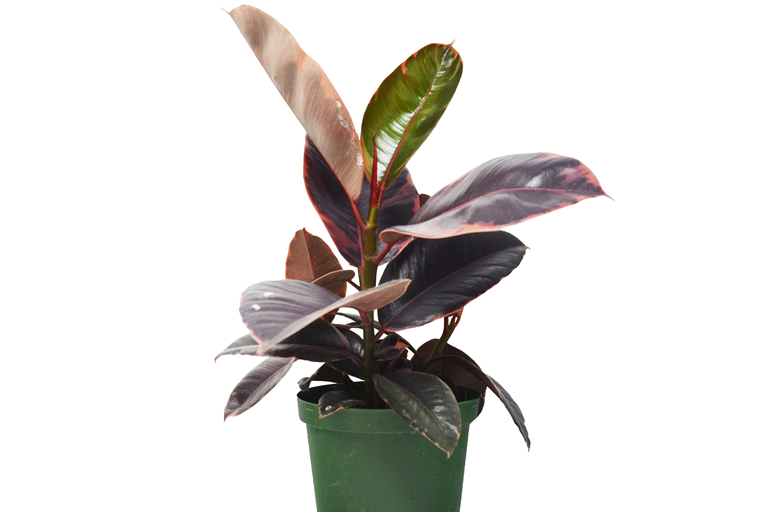 Ficus 'Ruby Pink' Rubber Plant - In 6'' Pot/12 - 18'' Tall/Live Plant/FREE Care Guide/House Plant/EASY CARE