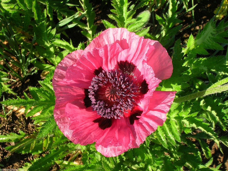 Amazon 20 Oriental Poppy Flower Seeds Royal Chocolate