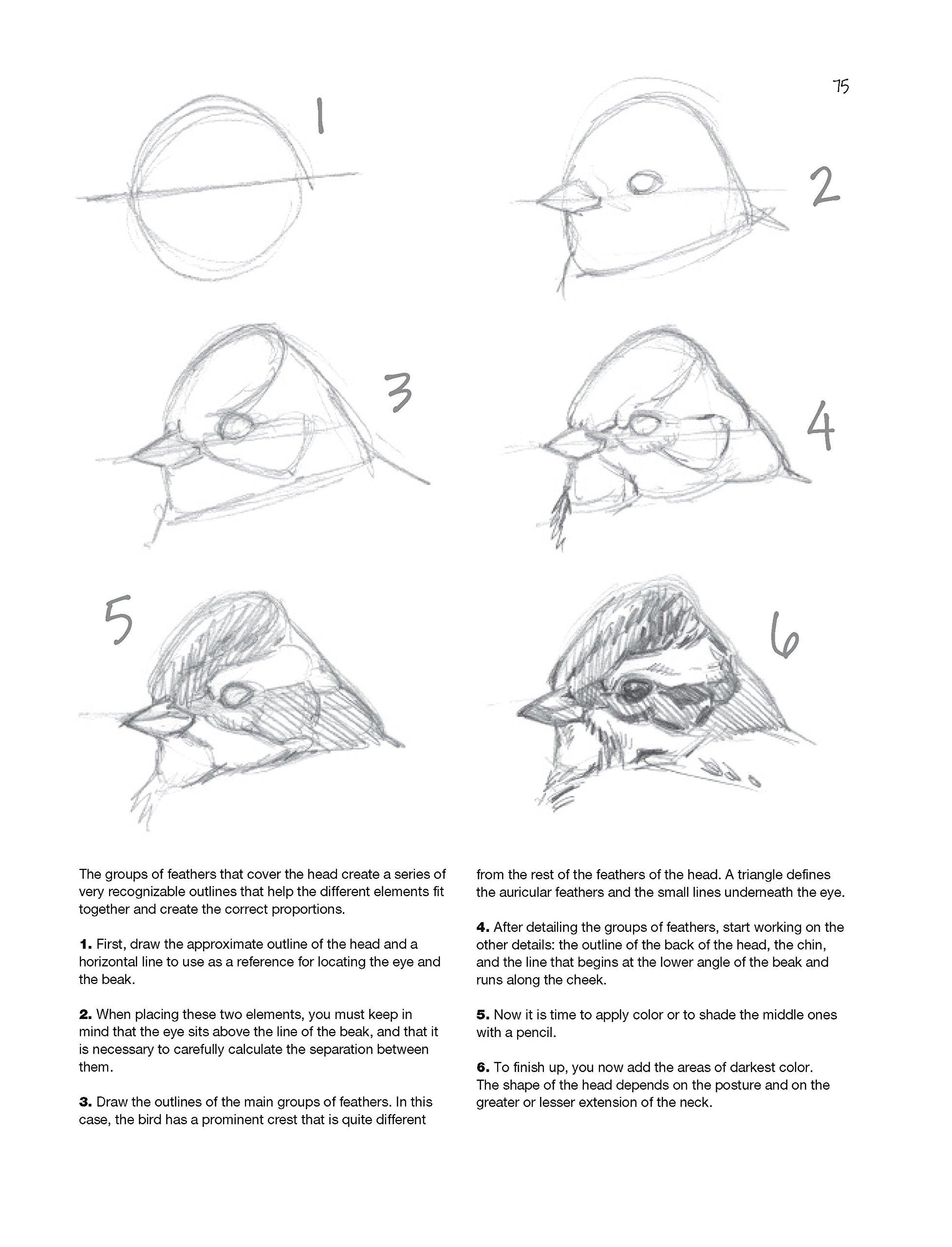 Sketching illustrating birds professional drawing class juan varela simó 9780764167911 amazon com books