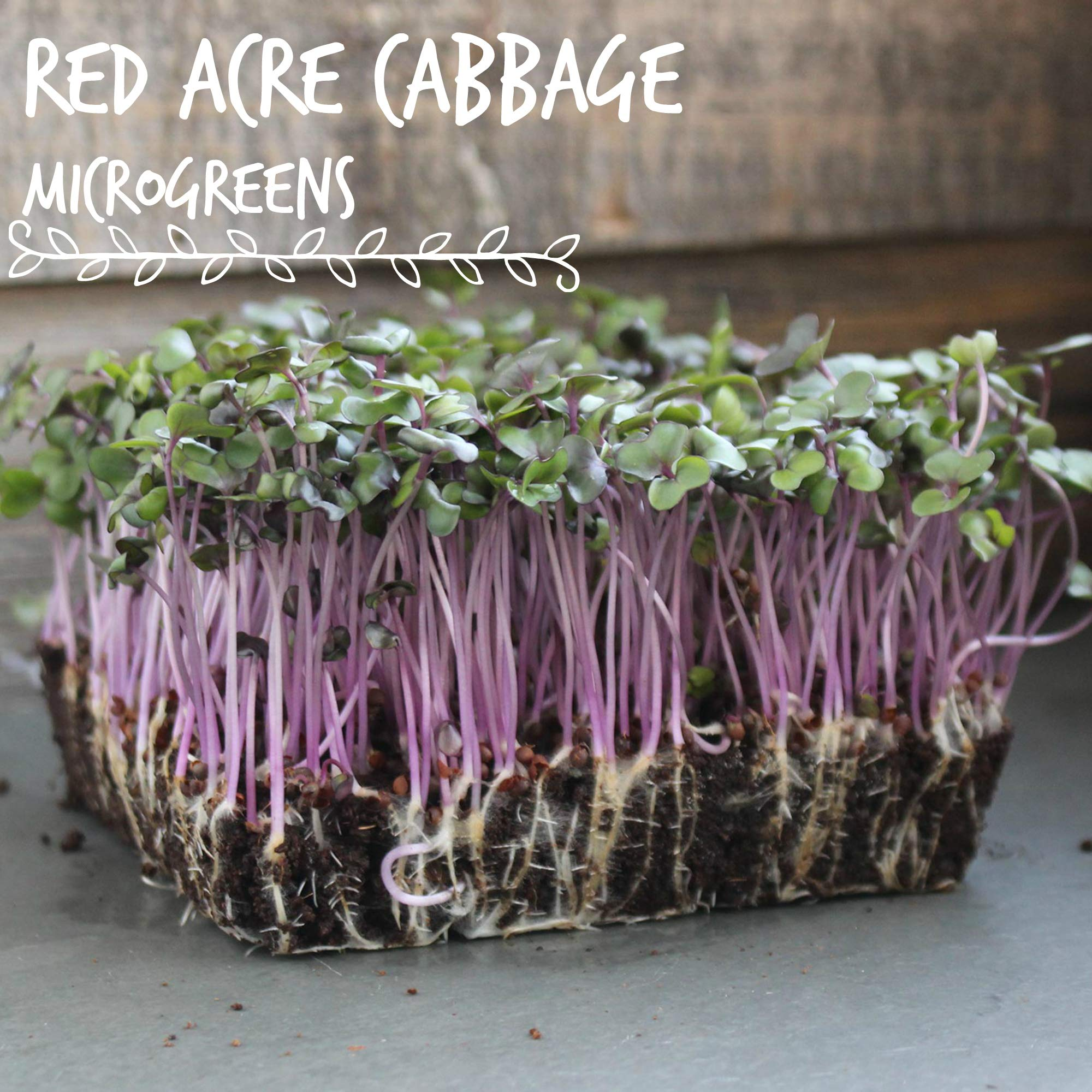 Red Acre Cabbage Seeds: 1 Lb - Non-GMO, Chemical Free Sprouting Seeds for Vegetable Garden & Growing Micro Greens by Mountain Valley Seed Company (Image #3)