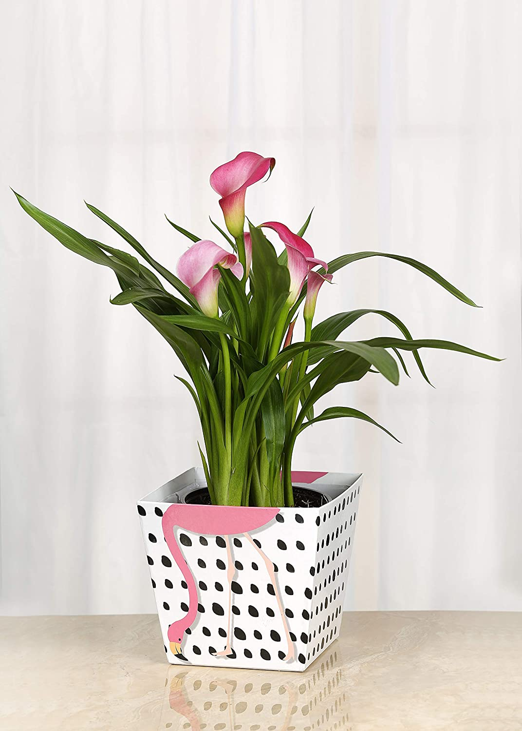 Amazon Com Live Calla Lily In Flamingo Container 6 Inch Indoor