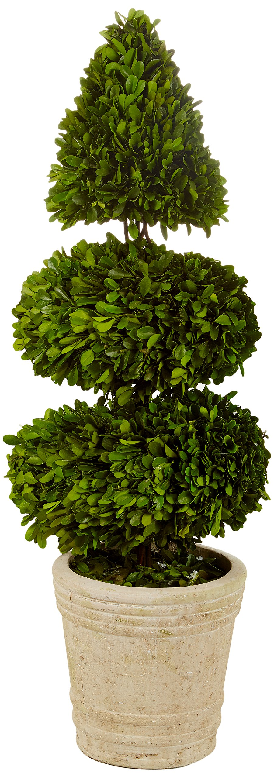 Preserved Boxwood with Double Ball and Cone