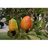Cashewbaum Anacardium occidentale Pflanze 20cm Cashew Kaschubaum Acajoubaum
