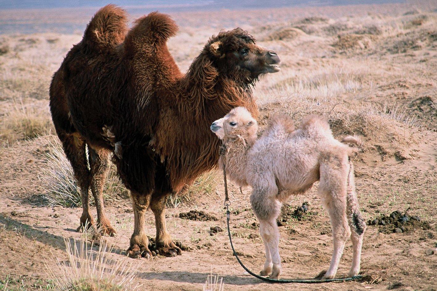 c00519110846 Die Geschichte vom weinenden Kamel Prädikat: Besonders wertvoll ...