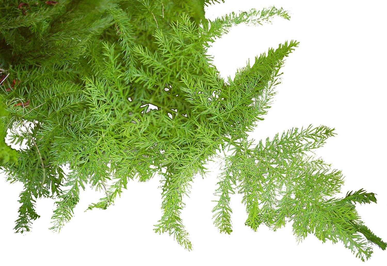 Federspargel 4 Samen Feder-Spargel gute Zimmerpflanze Asparagus setaceus