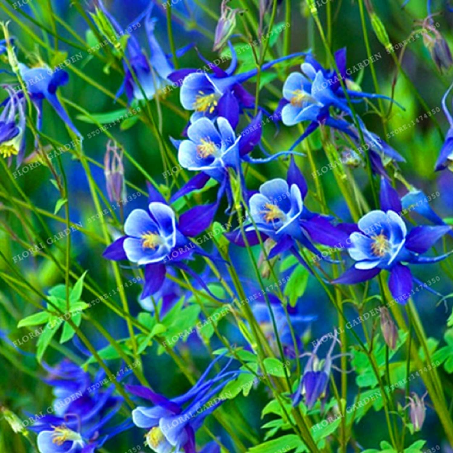 Amazon Hot Sale Rare Aquilegia Blue Columbine Perennial