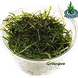Java Moss Live FreshWater Aquarium Plants Easy Ready to grow By Greenpro
