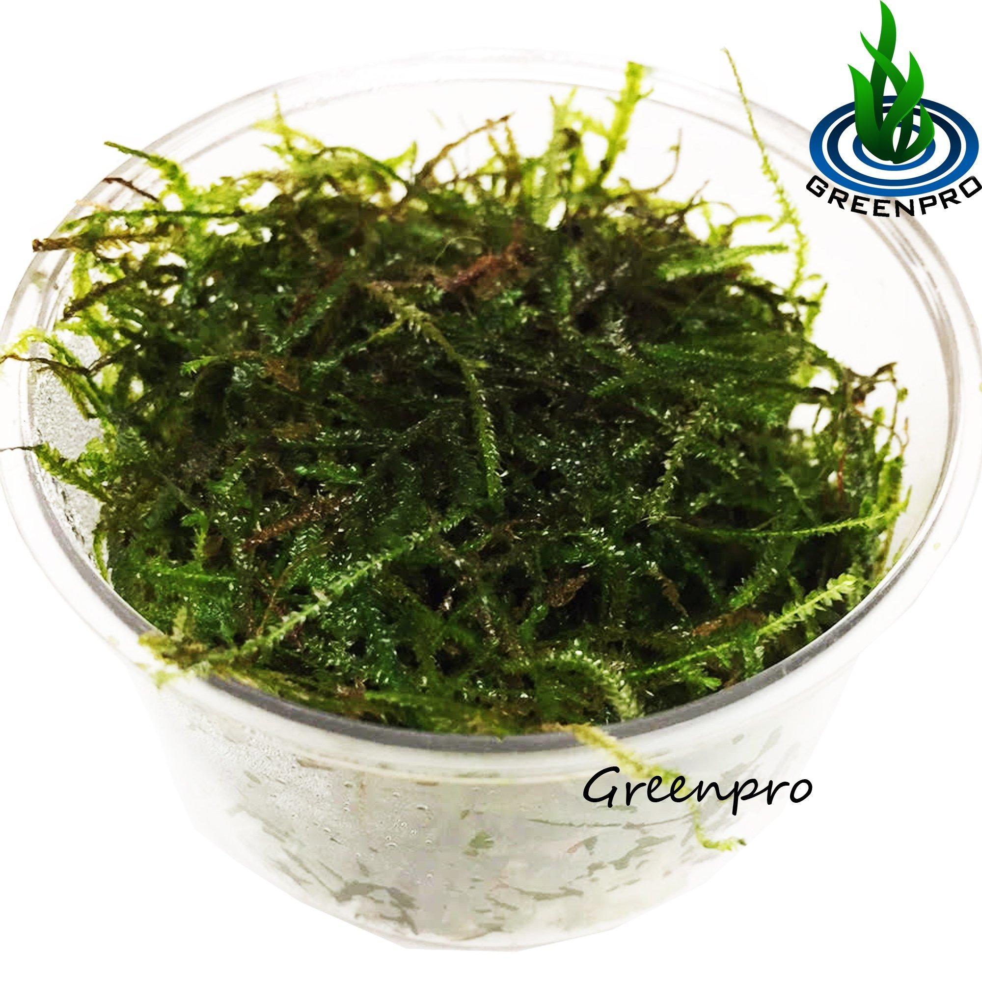 Greenpro Java Moss Live Freshwater Aquarium Plants Easy Ready to Grow by Greenpro