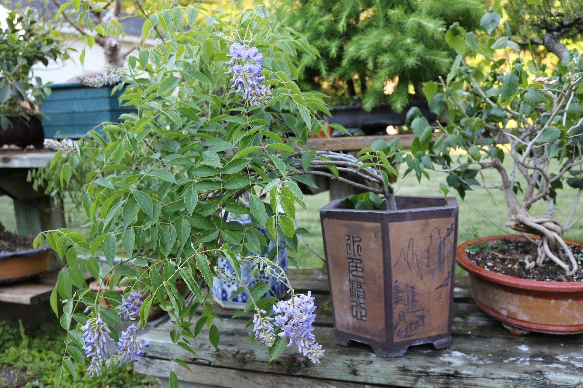 Bonsai Wisteria Tree - Amethyst Falls Wisteria Plant, Heavy Established Roots - Beautiful Flowering Bonsai Indoor Plant