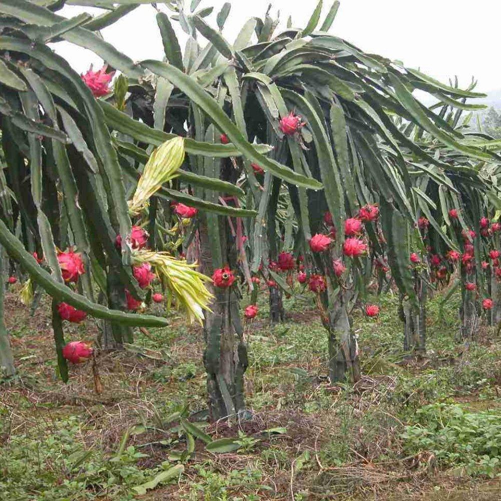 Brightup 100 Pi/èces Fruit du Dragon Blanc Graines Graines de Pitaya