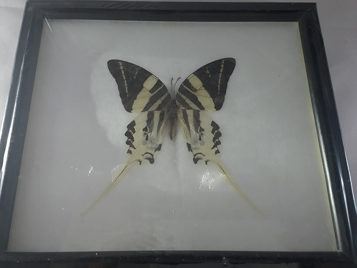 REAL BLUE GLASSY TIGER BUTTERFLY TAXIDERMY INSECT PICTURE FRAME ENTOMOLOGY