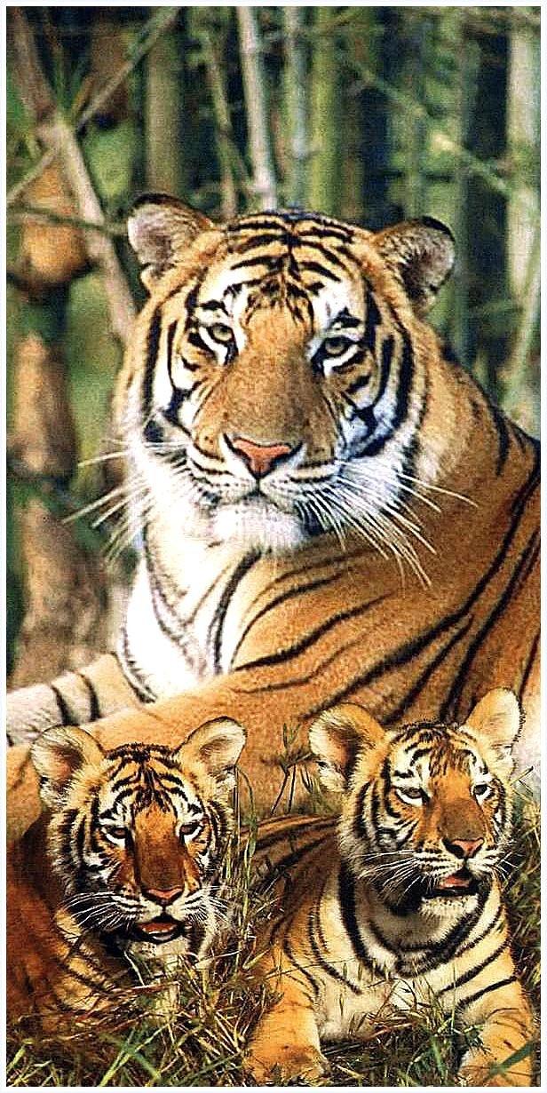 Jaschigo Toalla, playa, toalla de mano - Tiger - diseño: 2517 - 5 -