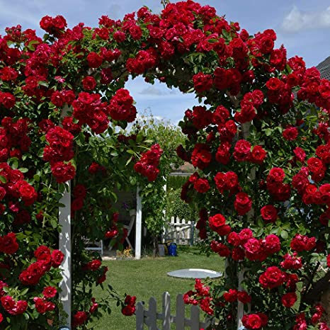 Rose Hardy Garden Plant Climber Ideal For Trellis Pergolas