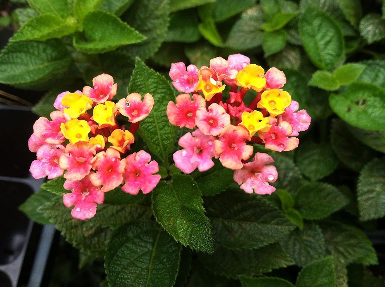 Amazoncom Lantana Anne Marie Tall Ground Cover Multi Color