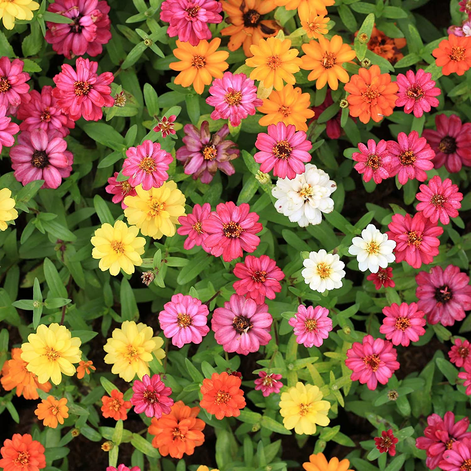 Amazon.com : Zinnia Flower Garden Seeds - Profusion Series - Seven ...