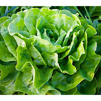 3500 Seeds Tom Thumb Leaf Lettuce (1/8 oz) - Many Sizes Butterhead Microgreens : Garden & Outdoor