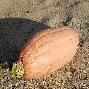 Pink Banana Jumbo Squash - 4 g ~20 Seeds - Non-GMO, Open Pollinated, Heirloom, Vegetable Gardening Seeds - Winter Squash