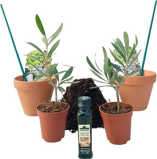 PePePlant - Pack PREBONSAI Olivo Baby (Olea Europea) | Kit con 2 ...
