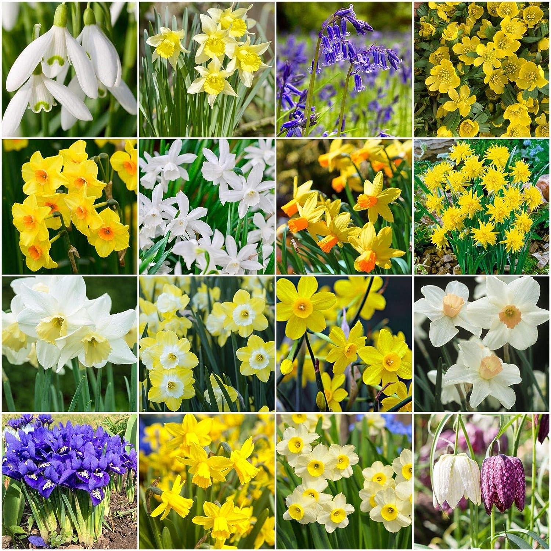 Portal Cool 50: Los bulbos que florecen en primavera | campanillas de invierno | campanillas | Narcisos narciso enano